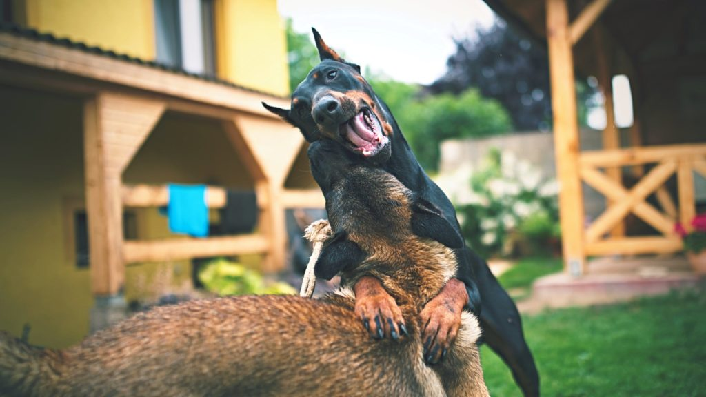 aggression in a dog in relation to another dog